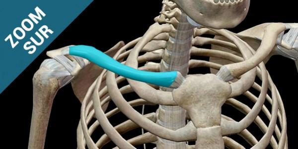 Zoom sur la fracture de la clavicule